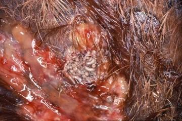 screw-worm-hatching